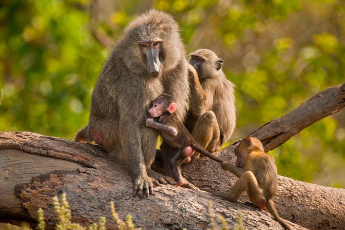 More than 600 olive baboons, which live in many areas of Africa, were killed in trophy ...