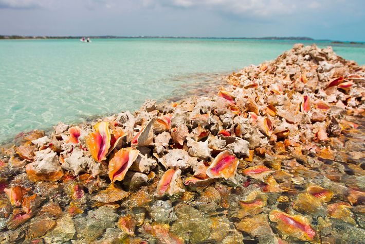 Piles of conch shells are left behind by those who fish them solely to collect the ...
