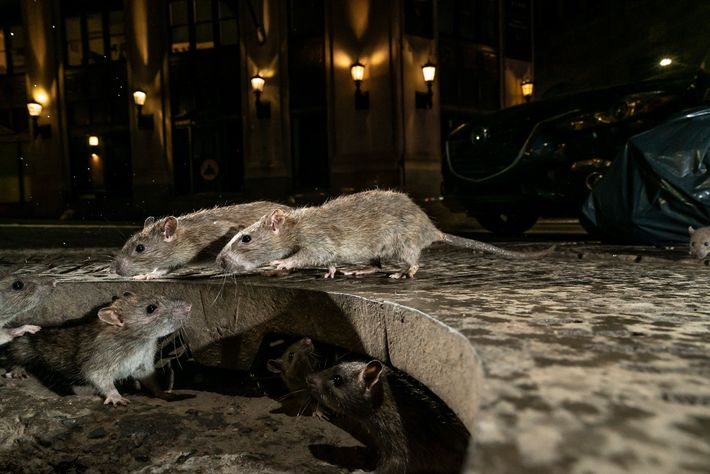 Rats emerge from a gap in the sidewalk on Pearl Street, in New York City.