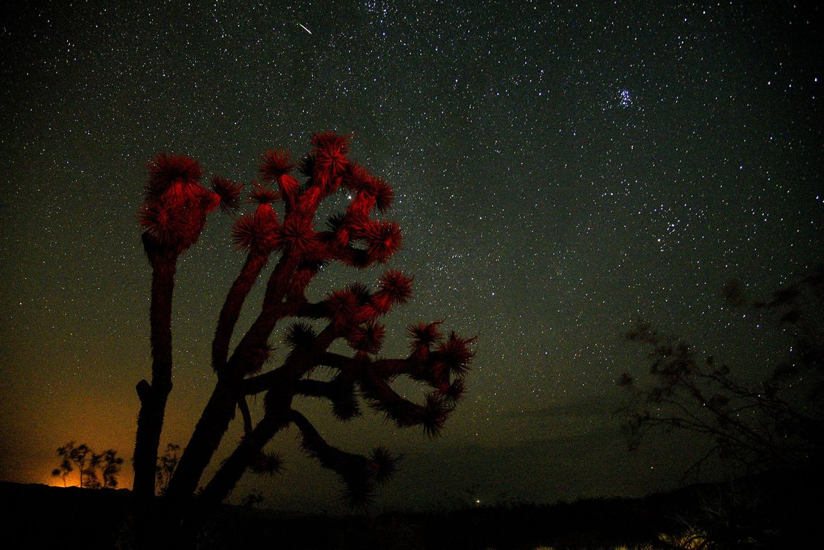 A meteor streaks over a Joshua tree on August 13, 2018, near Death Valley in California ...