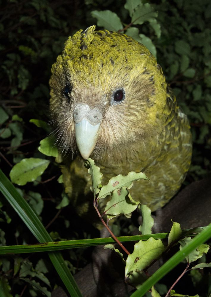 The kakapo have been transferred to three predator-free islands off the coast of New Zealand, but ...