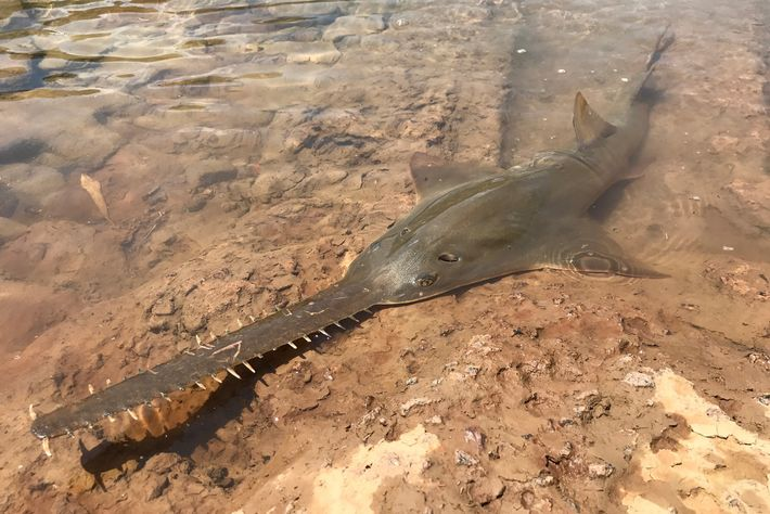 People from the Aboriginal Malak Malak group found this critically endangered largetooth sawfish in the shallows ...