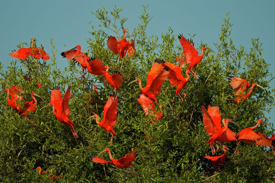 Flocks of hundreds of scarlet ibis can be easily startled by intruders and boats. Poachers capitalize on the ...