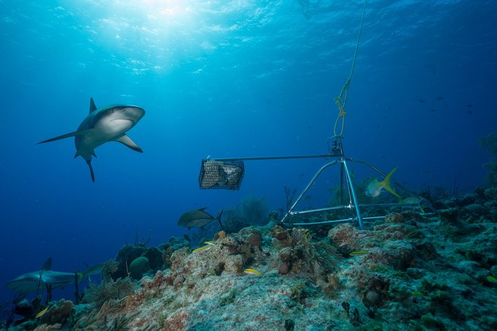 Caribbean reef sharks, once the most plentiful reef shark in the region, have declined in recent ...