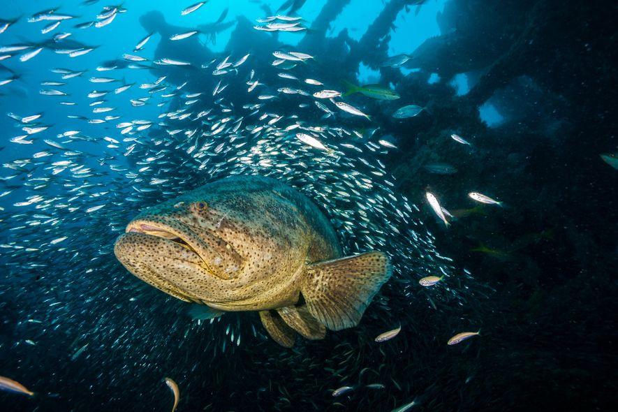 A goliath grouper swims in a wreck of the Baja California, a World War II-era ship ...