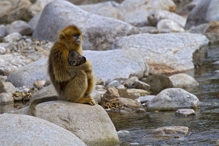 Unless conservation measures are taken, several species of snub-nosed monkeys may go extinct in the next ...