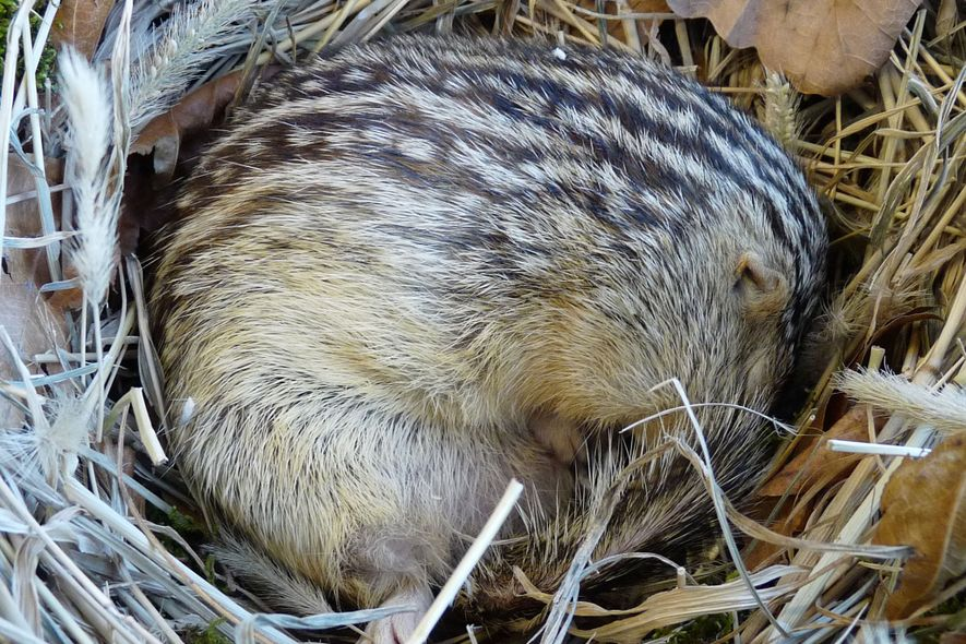 A 13-lined ground squirrel snuggles up. The species also rests and gives birth in its underground ...