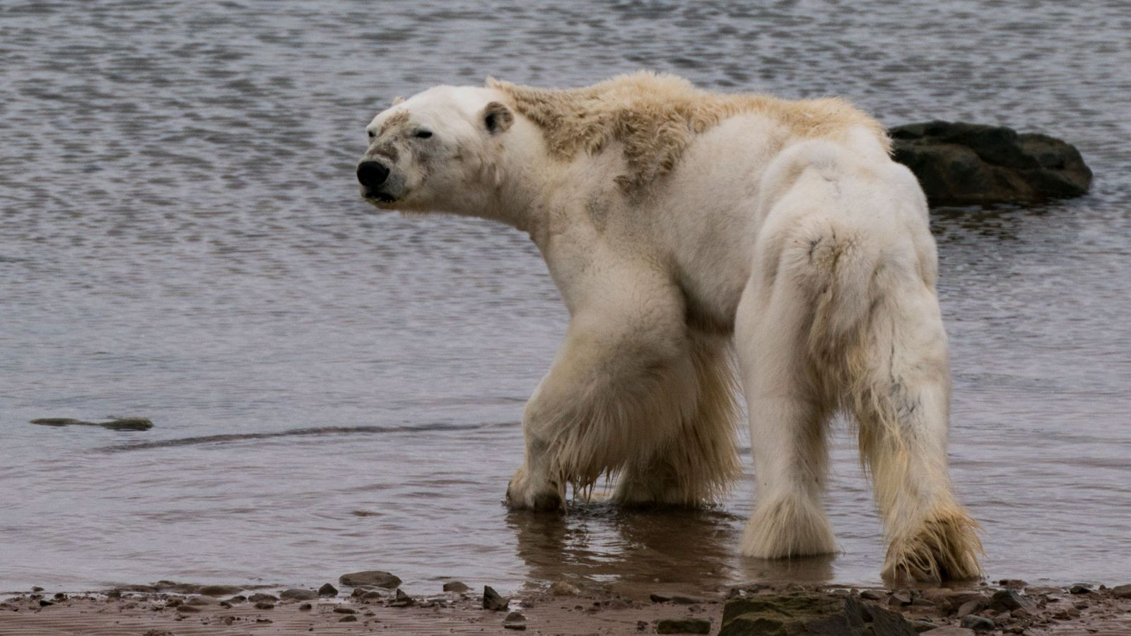 Feeding polar bears is illegal in Canada, and the filmmakers also did not have the means ...