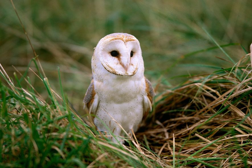 The barn owl is one of the most widely distributed birds on Earth, occuring in North ...
