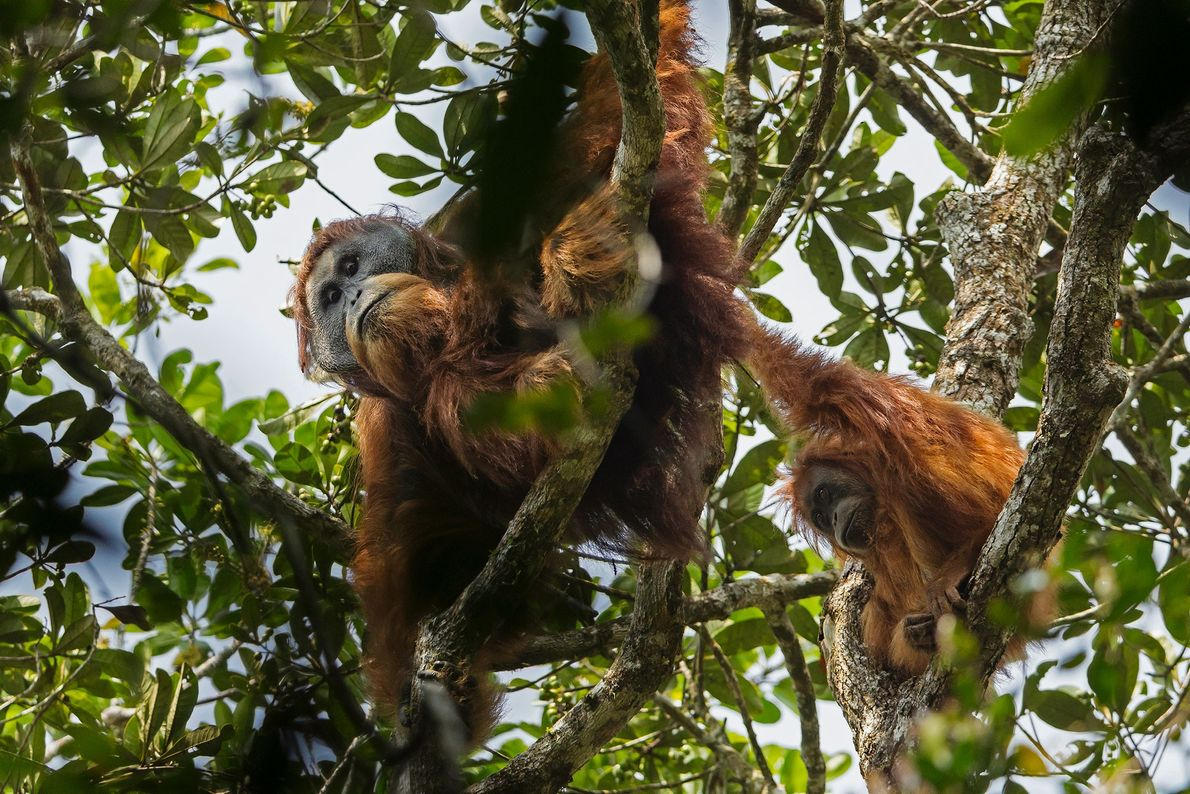 Tapanuli orangutans live only in a single, isolated forest in the mountains of Sumatra.