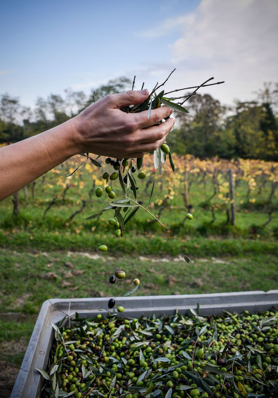 A farmer harvests the tiny, flavourful olives that make delicious Lucca oil.