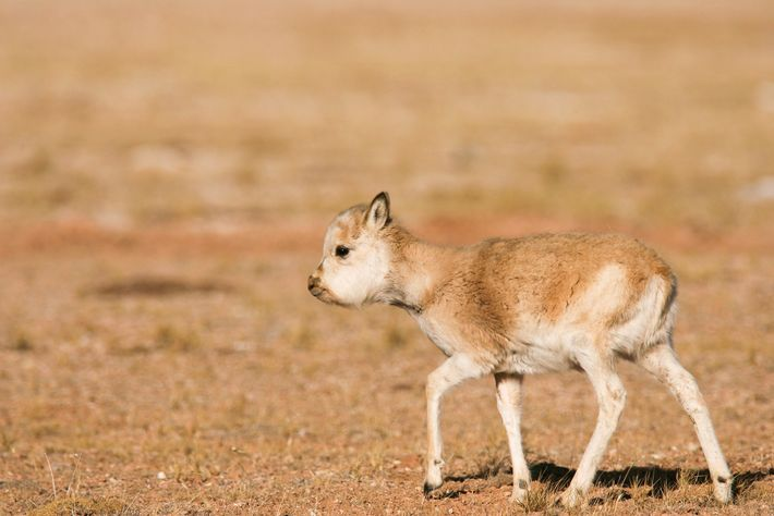 Global demand for shahtoosh wiped out 90 percent of the Tibetan antelope population during the previous ...