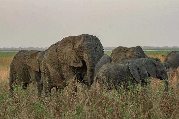 This tuskless matriarch moves with her herd across Gorongosa's floodplain.
