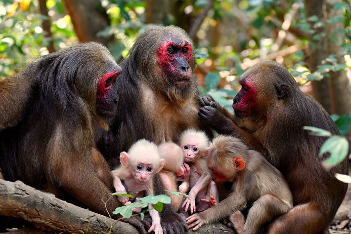 Female stump-tailed macaques often gather together with their infants. The mother of the twins, TNG-F19, sits ...