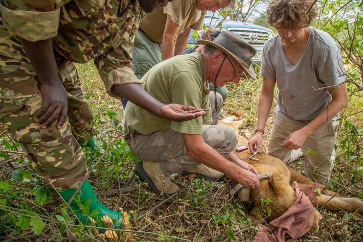 Wildlife veterinarian Ludwig Siefert works with Uganda Wildlife Authority ranger Nicholas Nuwaijuka (at left) and others ...