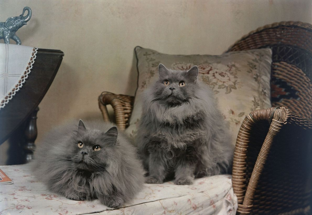 A pair of blue Persian cats pose on a recliner in Bogota, New Jersey. At the ...
