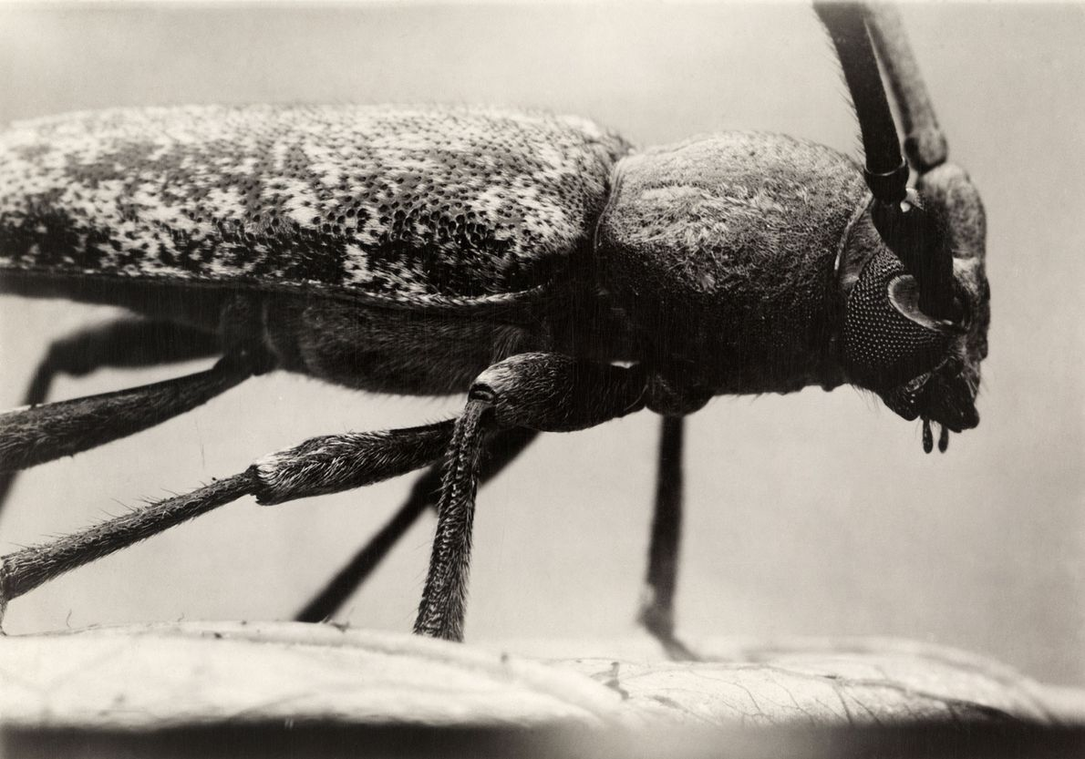 The twig pruner, a longhorned beetle native to North America, is considered a pest, as it ...