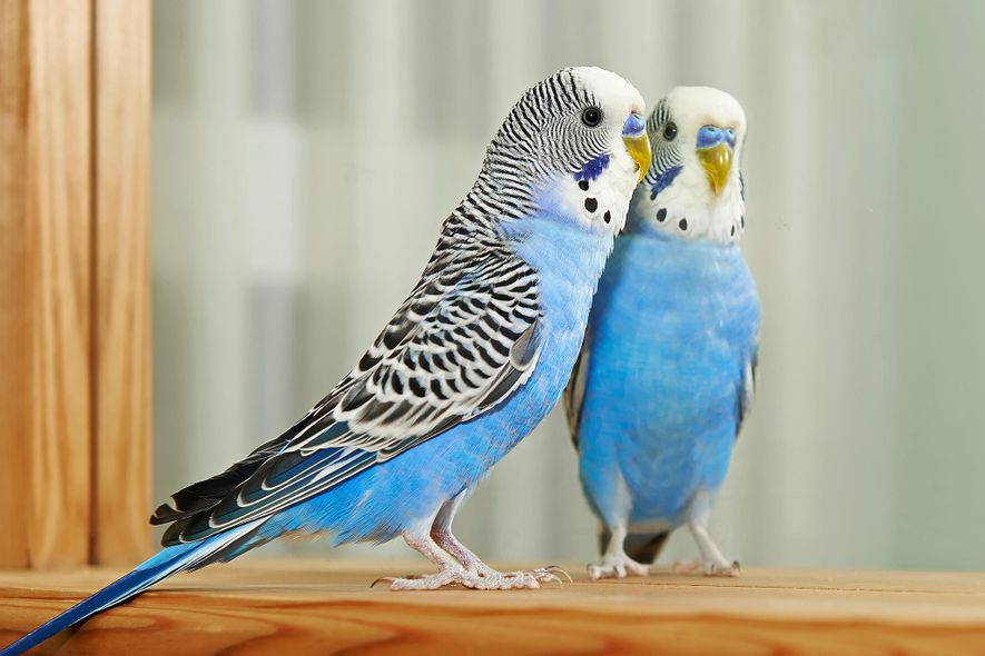 A blue budgrerigar—also known as a common parakeet—checks itself out in the mirror.
