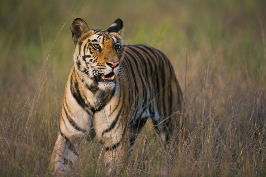 Tigers can go two weeks without eating and may gorge themselves when they make a kill, ...
