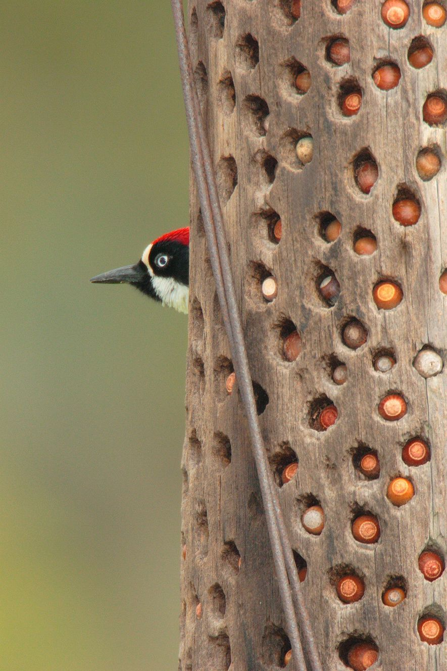 An acorn woodpecker poses near its stash of acorns. The birds can also store their food ...