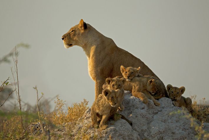 Lion cubs gather near their mother on an anthill as she surveys Botswana's Selinda Reserve.