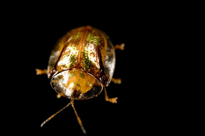 The golden tortoise beetle is a surprisingly caring parent.