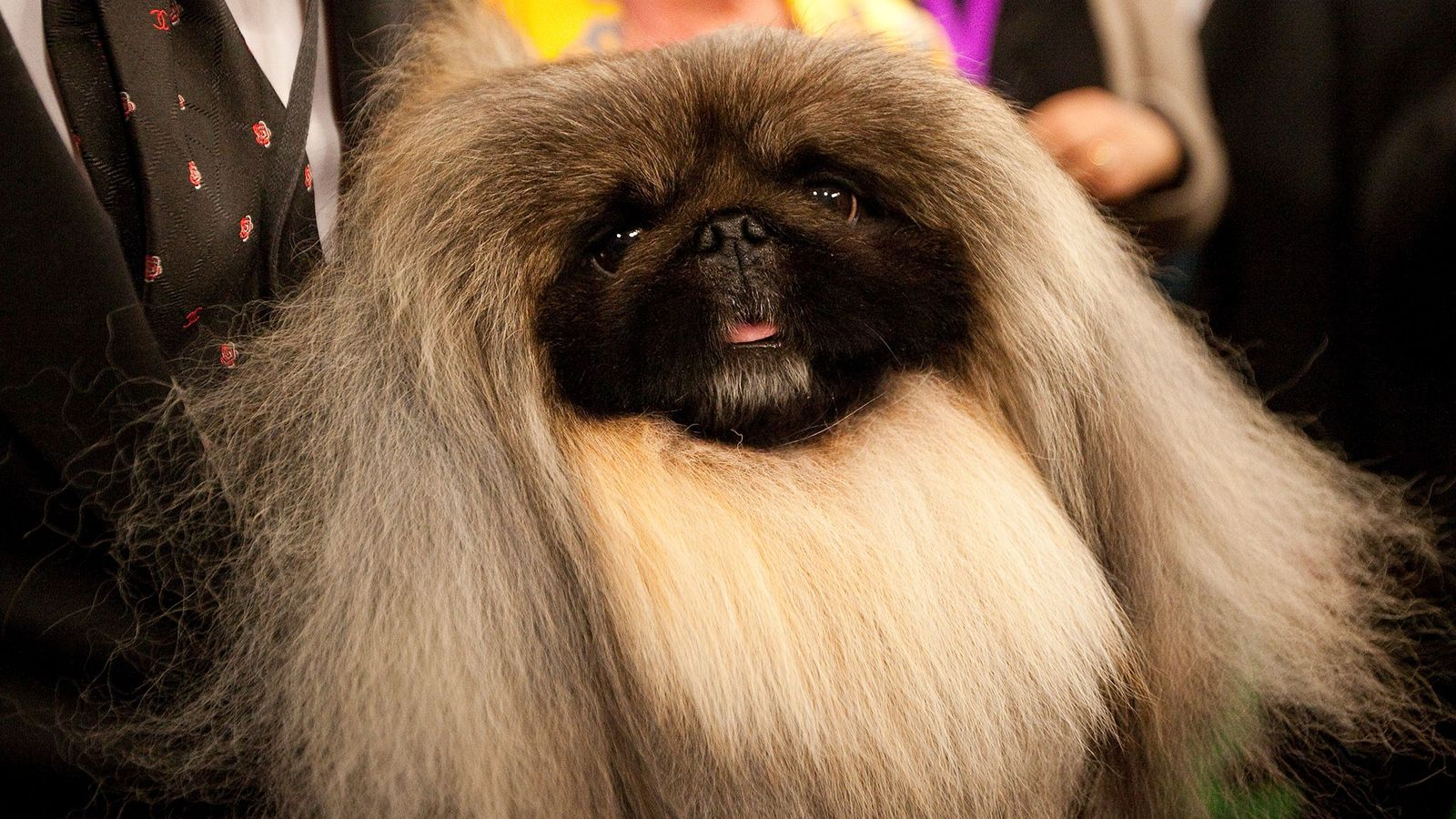 A Pekingese named Malachy poses after winning Best in Show at the Westminster Kennel Club Dog ...