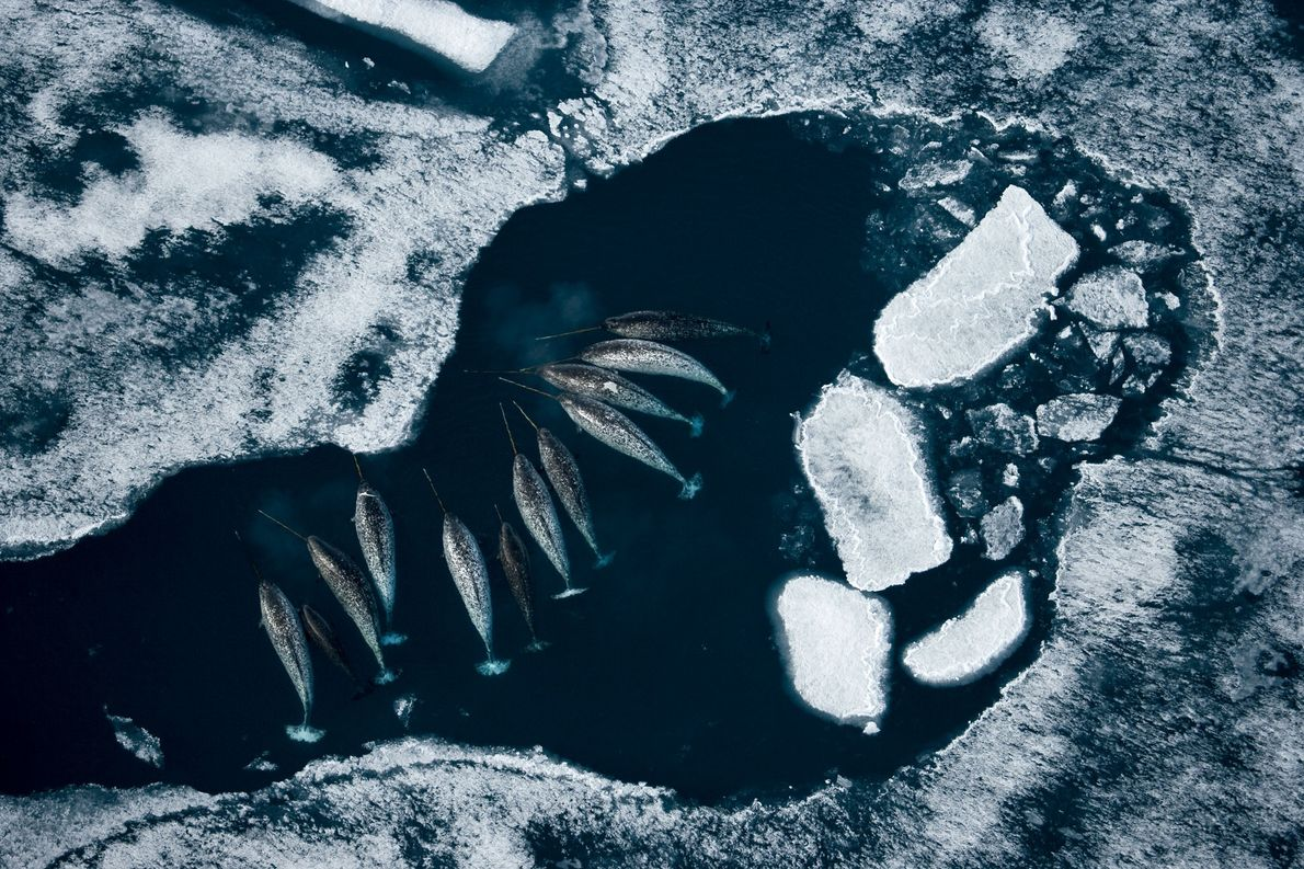 A group of narwhal gather en masse at an Arctic ice floe to eat cod. The ...