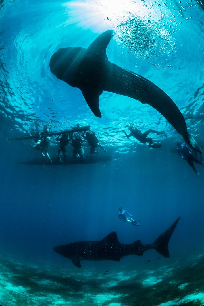 Whale sharks have been nationally protected in the Philippines since 1998, but poaching persists in this ...