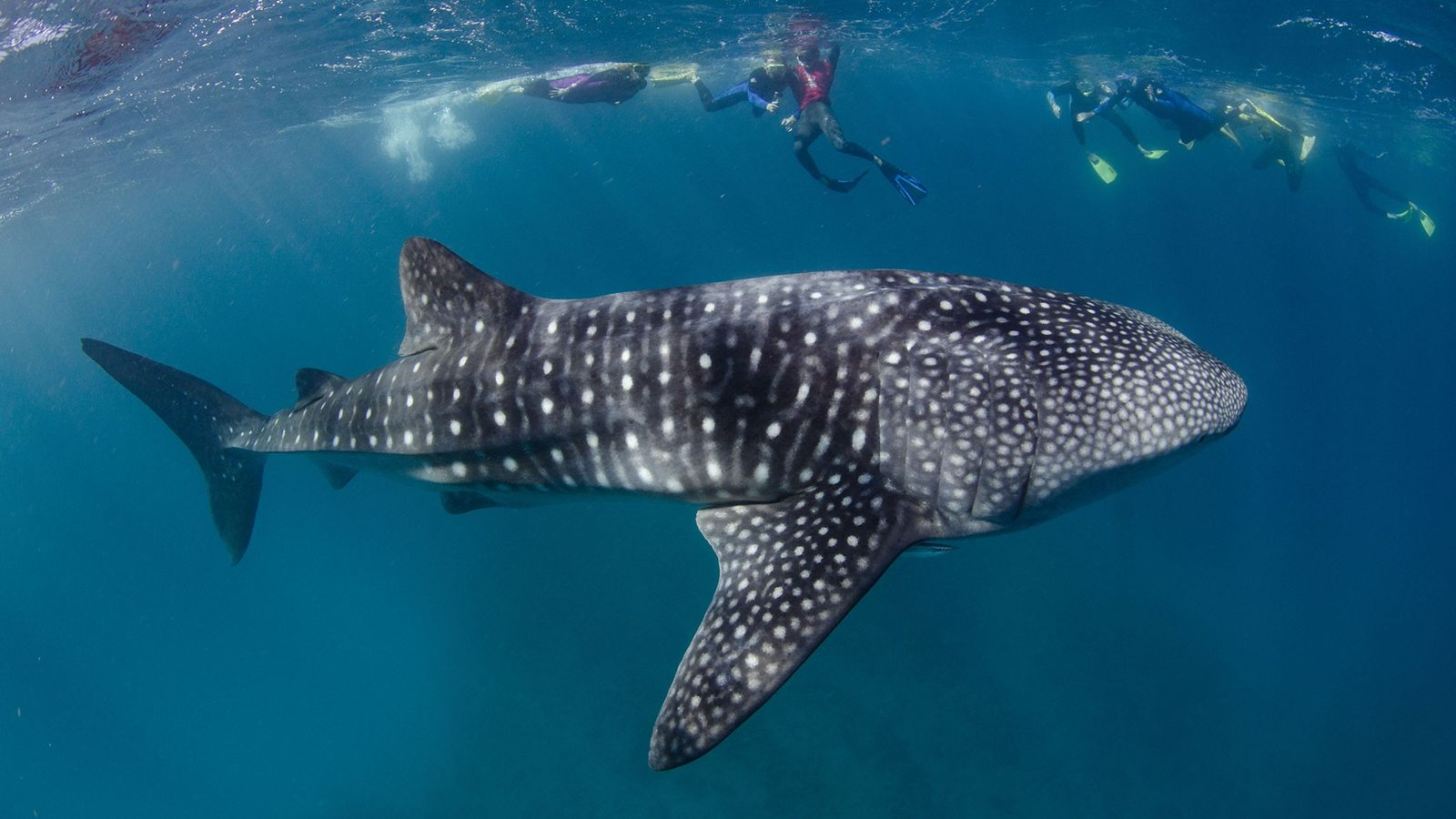 Tourists swim near a whale shark. Such encounters have provided valuable data for scientists studying the ...