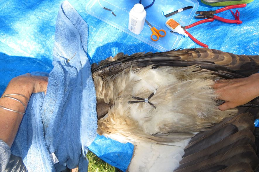 Scientists attach the transmitters to the vultures using a handmade backpack, which runs underneath the vulture's ...