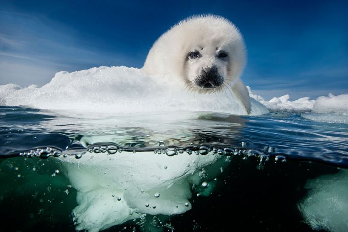 A harp seal pup, called a whitecoat, patiently waits for its mother to return in the ...