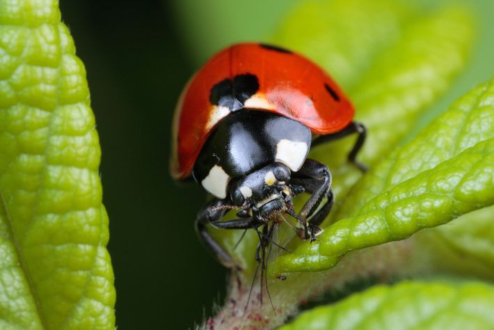 A ladybird beetle, also known as a ladybug, feeds on an aphid, a type of pest ...