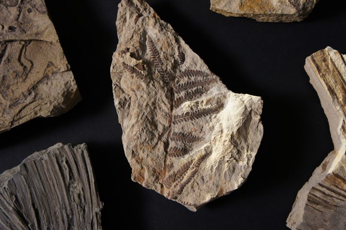 This fern is among the 6,000 fossil leaves found at Corral Bluffs that are helping scientists ...