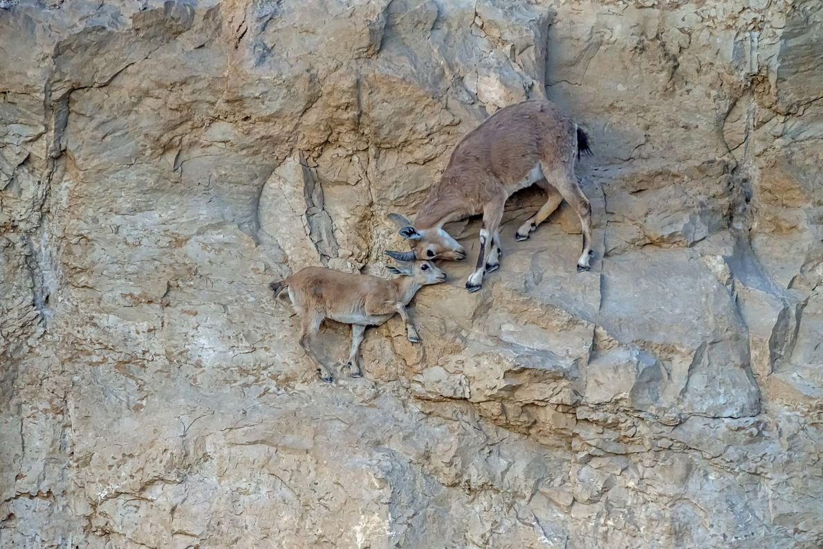 Your Shot photographer Nachum Weiss documented a Nubian ibex mother as she shows affection to her ...
