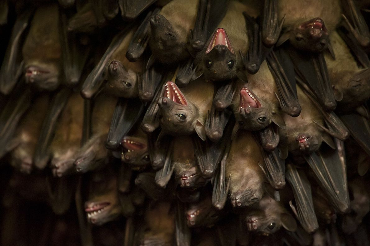 Egyptian fruit bats at a huge bat cave near Jacana Lodge in the Maramagambo Forest. The ...