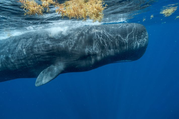 Caribbean sperm whales face many threats—pollution, climate change, entanglement in fishing gear, ship strikes. So many ...