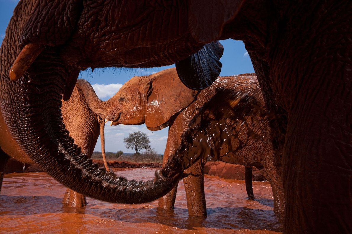 Orphan elephants mudding in a human-made waterhole in Tsavo East National Park, Kenya.
