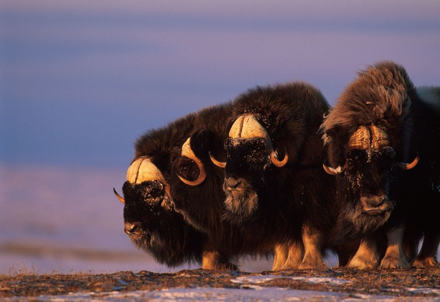 To find out whether muskoxen are afraid of the bears that have moved into their territory, ...