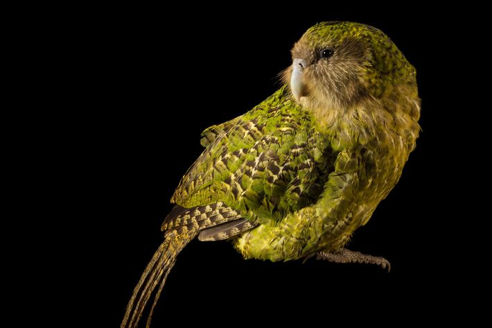 The critically endangered kakapo gives some clues to what the giant parrot may have eaten and ...