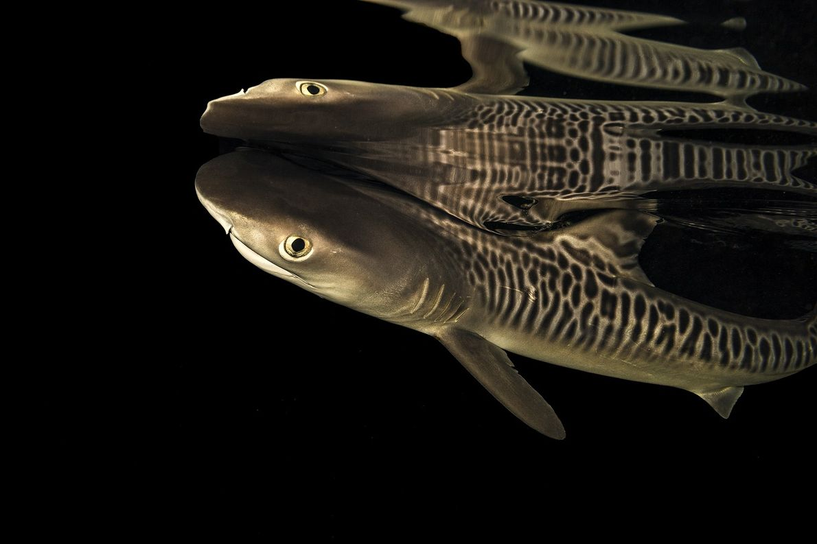 A neonate tiger shark pup, approximately six days old, is being studied in captivity at the ...
