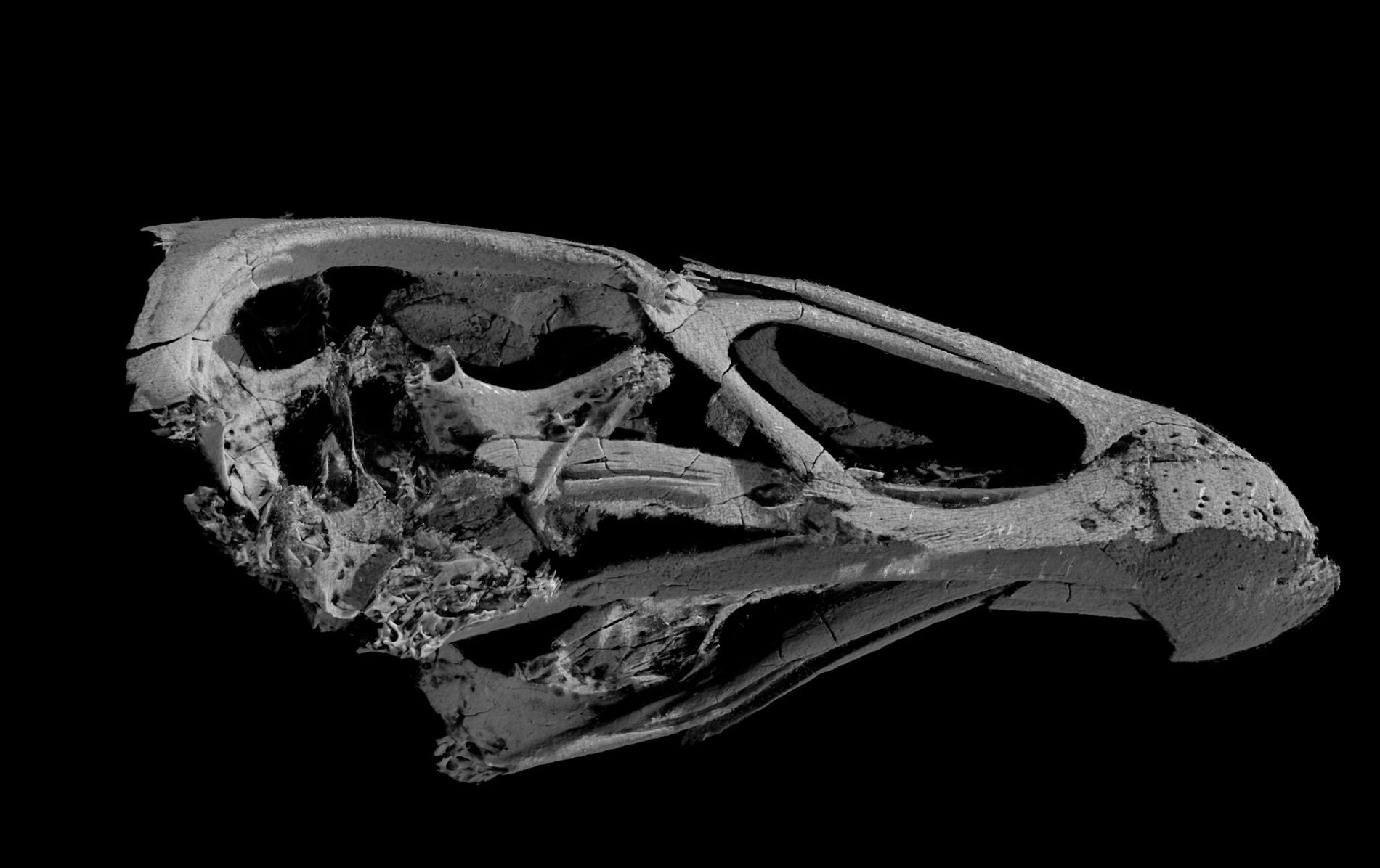 A 3D image of the skull of the oldest known modern bird, Asteriornis maastrichtensis.