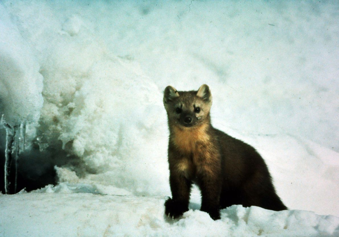 This female pine marten was billy's neighbor for three years; shortly after she gave birth to ...
