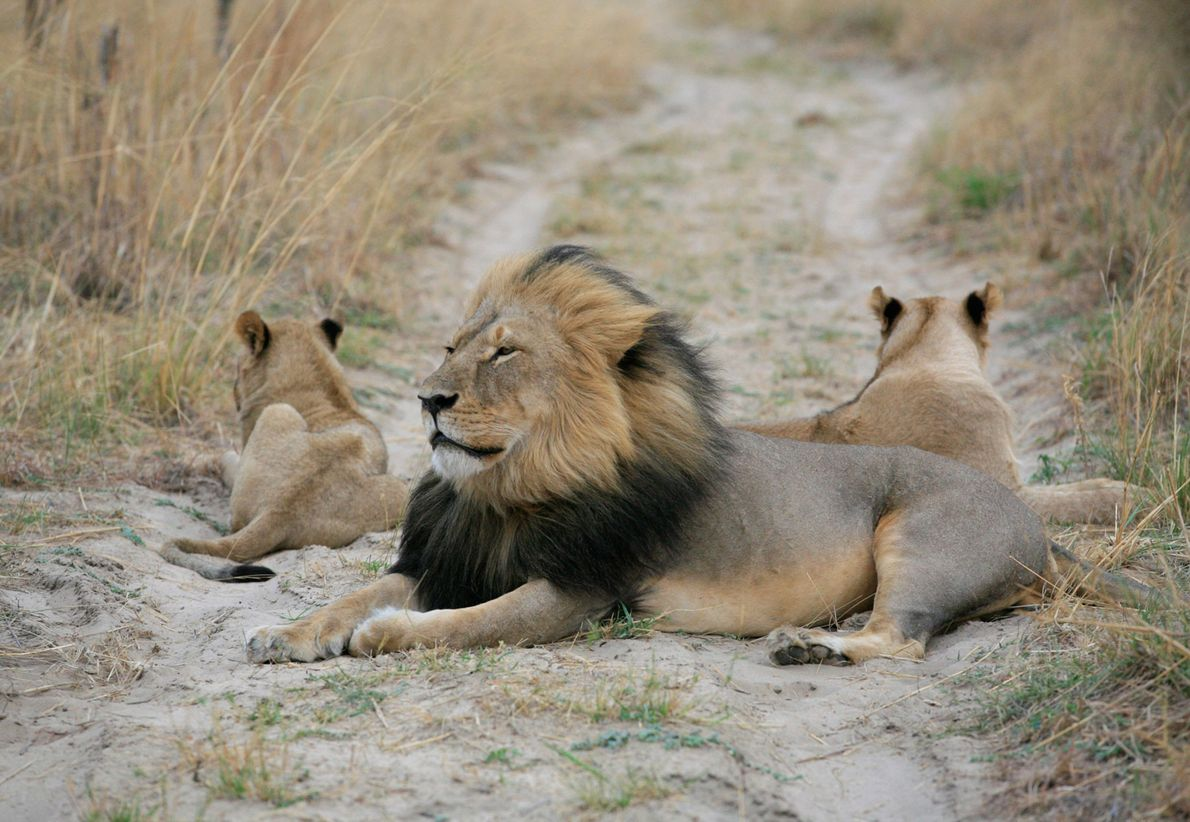 Walter Palmer, a dentist from the U.S., shot and killed Cecil the lion outside Zimbabwe's Hwange ...