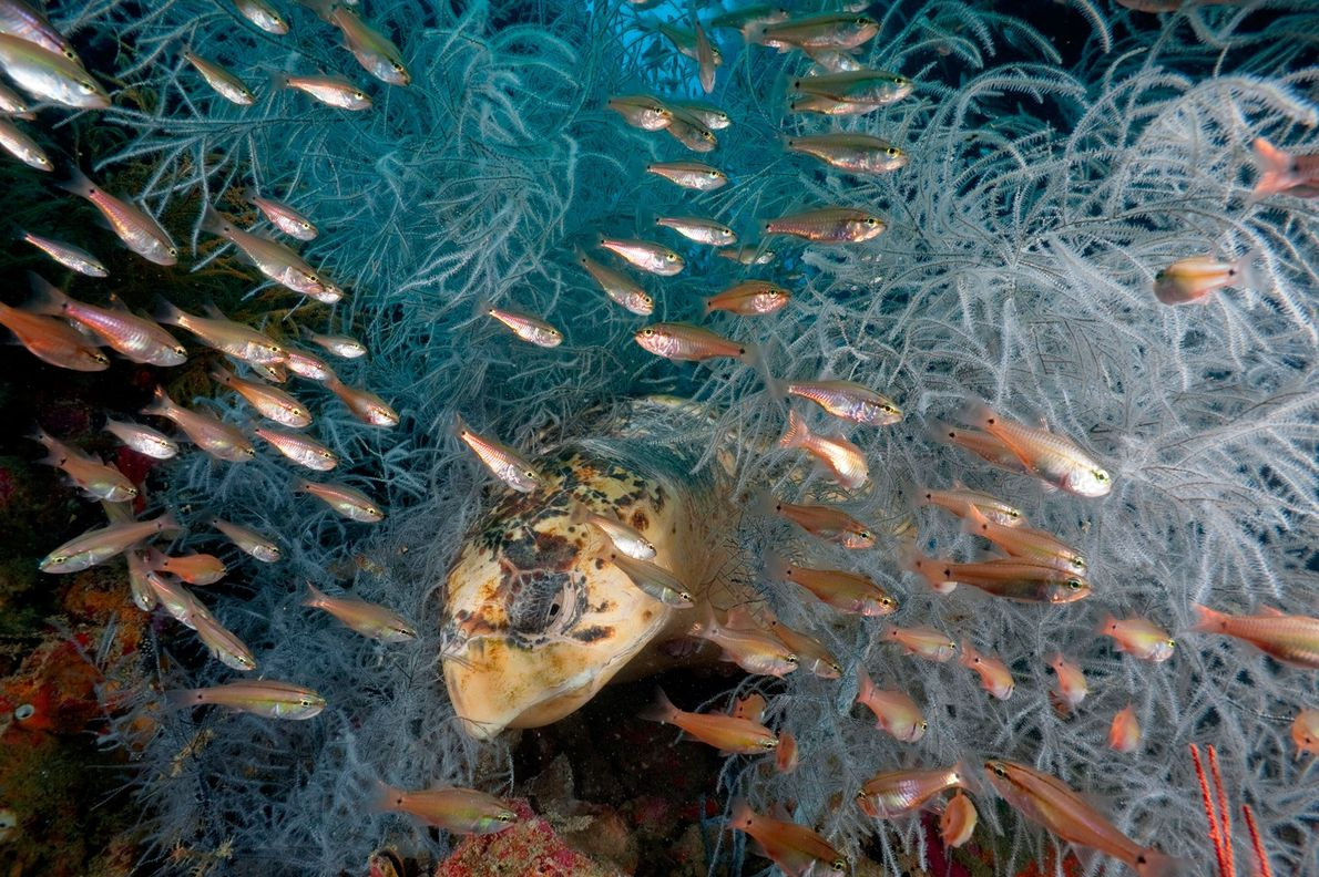 Cardinalfish zip by a loggerhead turtle as it rests among feathery invertebrates called hydroids. As marine ...