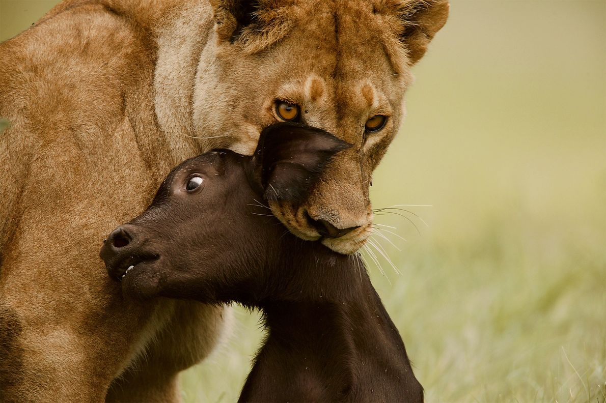 A lioness captures her prey, a buffalo calf. The photo appeared in Beverly and Dereck Joubert's ...