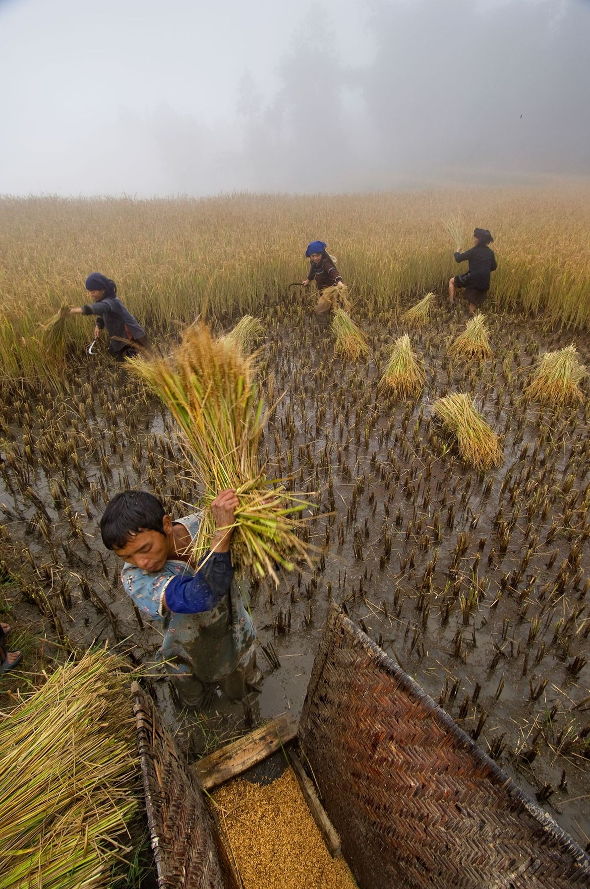 The Li Kaixin family harvests rice near Sheng Cun, a village in China's southern Yunnan province. …