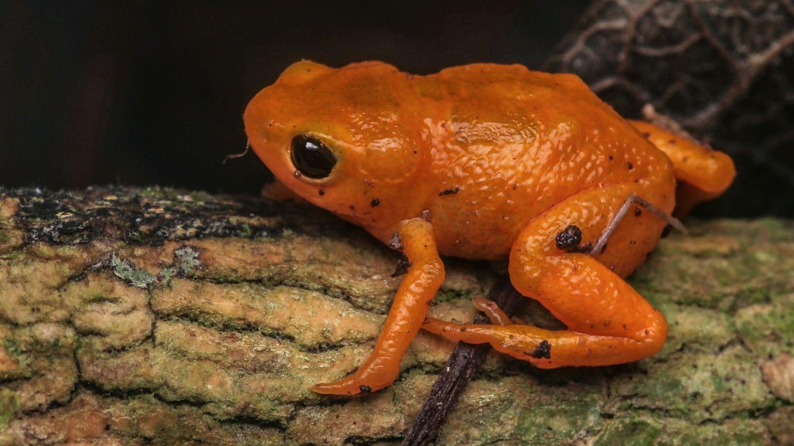 pumpkin-toad