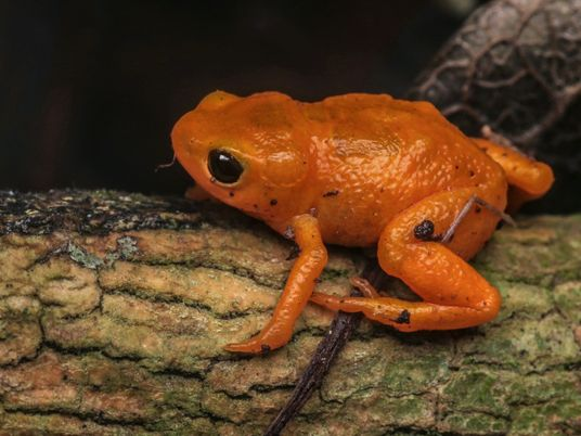 New pumpkin toadlet species found—and it secretly glows in the dark