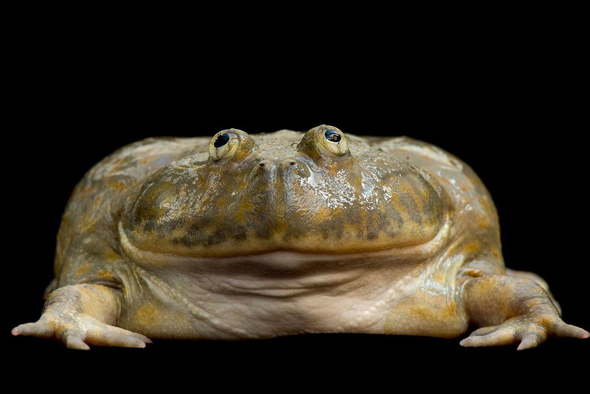 Budgett's Frog ('Lepidobatrachus laevis') at the National Aquarium in Baltimore.